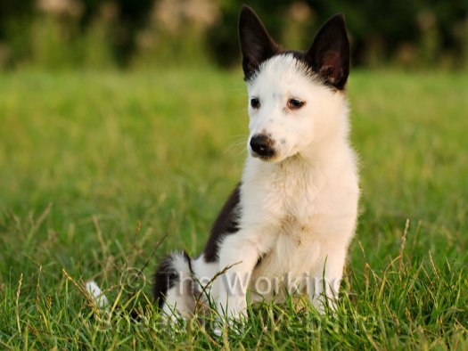 Collie x jack russell terrier with a white face and black ears