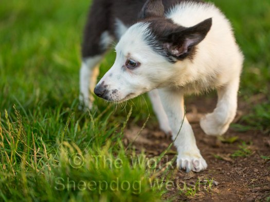 Little white-faced puppy, part jack russell and part Border collie