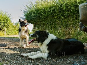 Sheepdogs Carew and Kay take a well-earned break from working