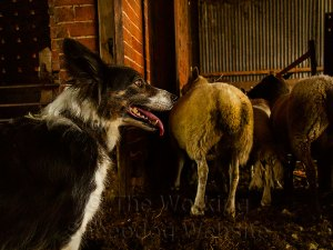 Sheepdog Kay awaits her next command in the sheep sorting pens