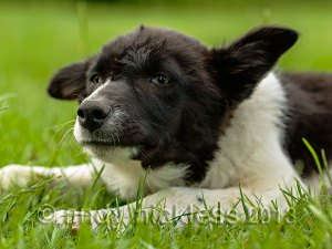 Smooth coated Border collie pup