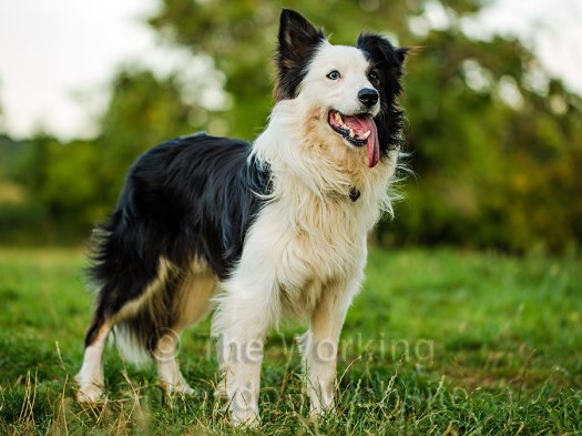 Border Collie sheepdog Zak's a handsome dog