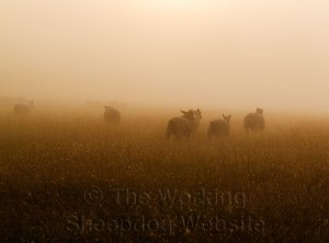 A lovely atmospheric picture of Sheep in the early morning mist