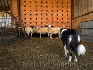 In the sorting pens, Carew commands much more respect form the sheep than she did a few weeks ago