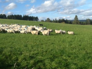 At work on the hill - sheepdog with sheep