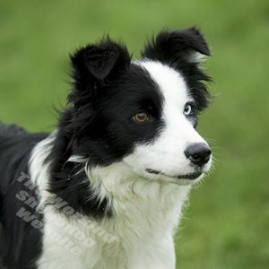 Lovely black and white rough coated border collie female
