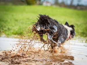 Sheepdog Jan leaps out of a puddle, leaving a shower of muddy water behind her