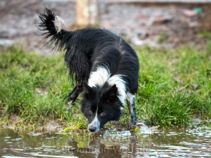 New sheepdog Jan takes a drink from a large puddle