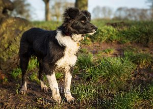 A very good looking young female border collie - Dash