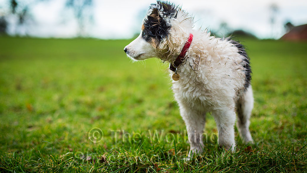 Dash is a predominantly white tricolour border collie sheepdog puppy