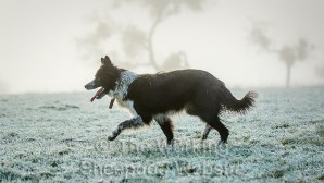 Sheepdog Jan on a misty frosty morning