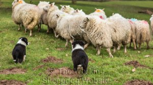Two small border collie puppies looking at sheep