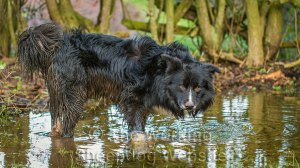 Big black Border collie dog up to his knees in water