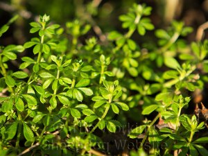 Goosegrass is a wild plant growing in the UK
