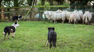 Border collie puppies holding sheep to a fence