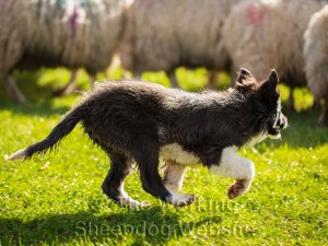 At just over fourteen weeks of age, Border Collie puppy Hayley naturally flanks round her sheep