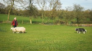 A working bearded collie being trained on sheep