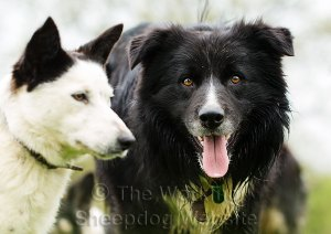 Contrasting collies - white faced Madge and black faced Ezra
