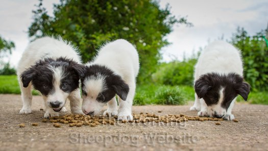 Three mainly white border collie puppies