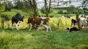 Cattle jumping a fence as sheepdog Carew herds them back into their own field