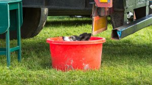 Sheepdog Kay cools off in a water tub after her run at Evesham Sheepdog Trials