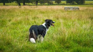 Sheepdog Carew standing in long grass looking into the distance.