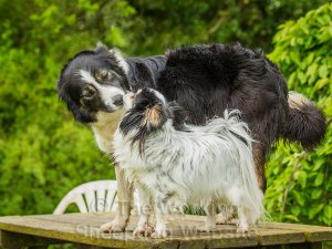Beautiful image of border collie and papillon