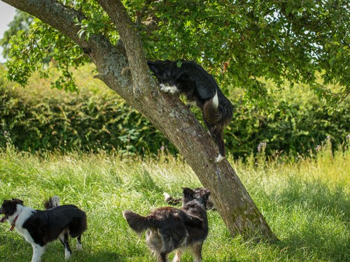 Border collie climbing a tree to retrieve a toy