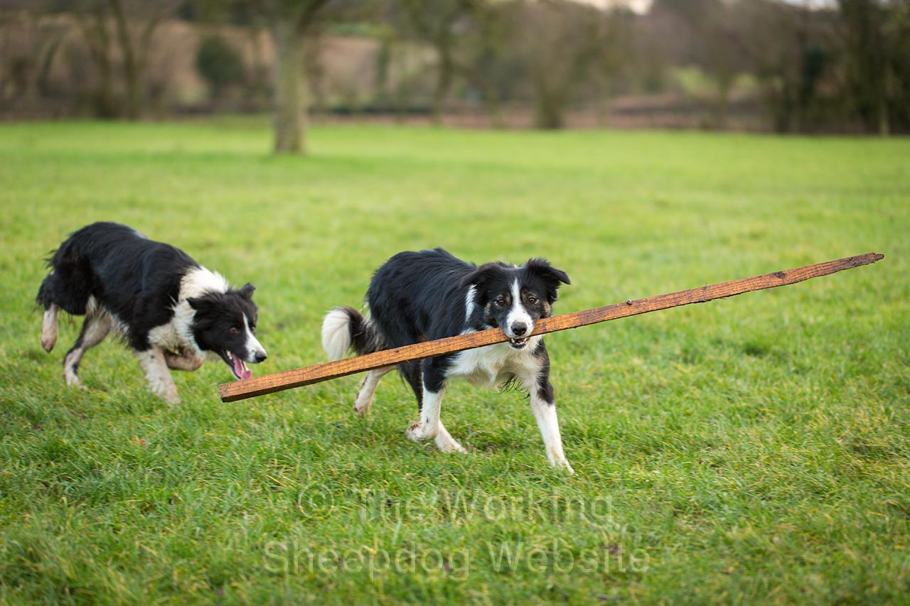 Two border collie sheepdogs. One is carrying a very large stick