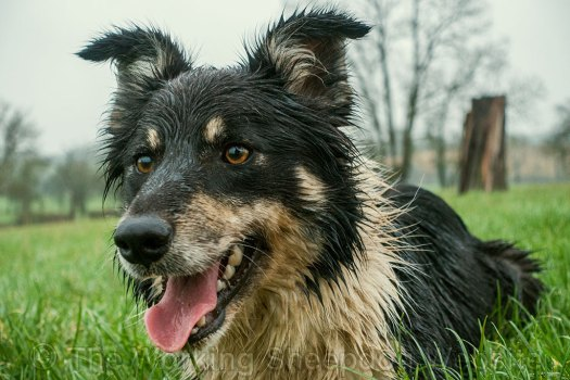 border collie sheepdog, Bronwen