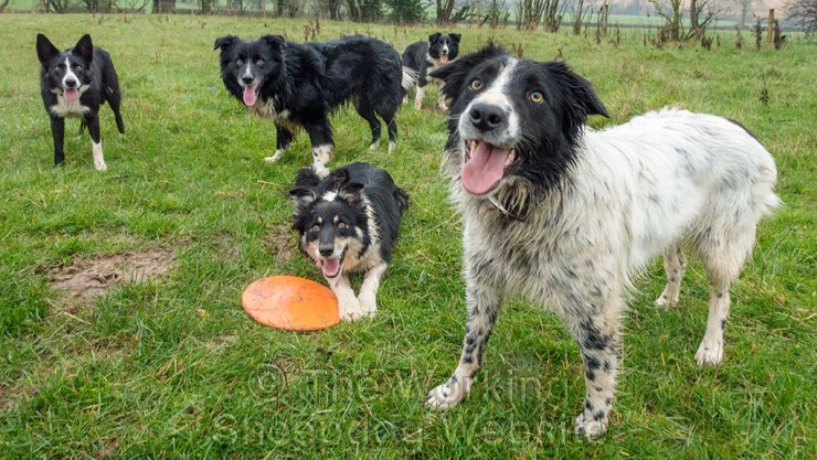 A group of sheepdogs with a frisbee