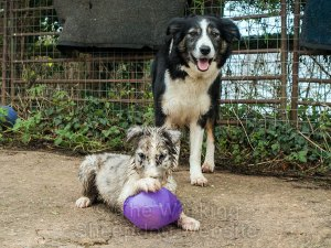 Blue merle puppy with it's paw on a bouncy toy