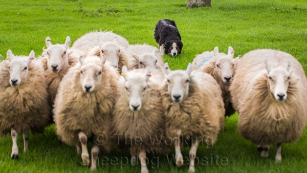 Herding dog Ricky keeping well back behind his sheep