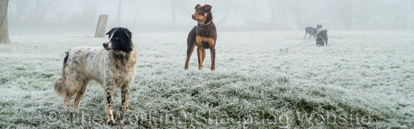 Border collie and Kelpie in the frost