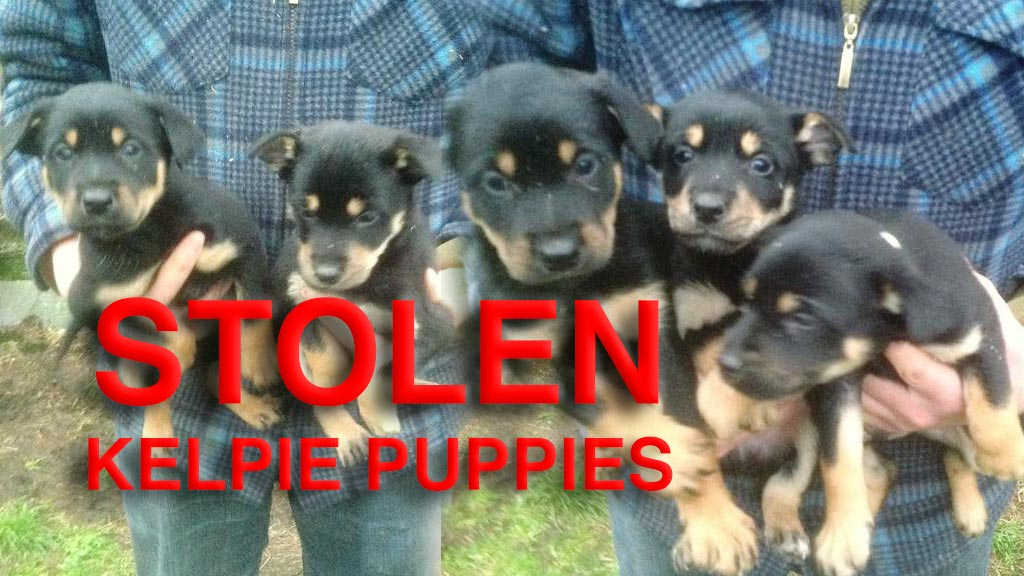 Picture of the puppies which were stolen from Clunton in Shropshire (January 2016)