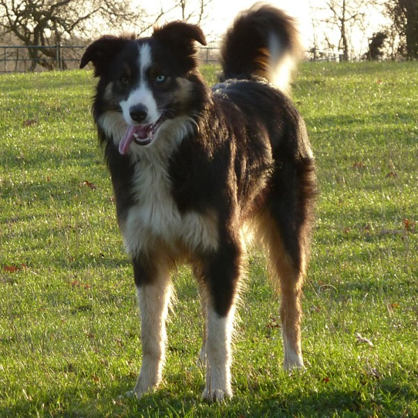Tricolour Border collie with wall eye (one blue and one brown eye)