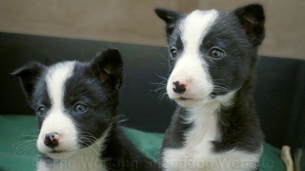 Black and white smooth coated collie puppies