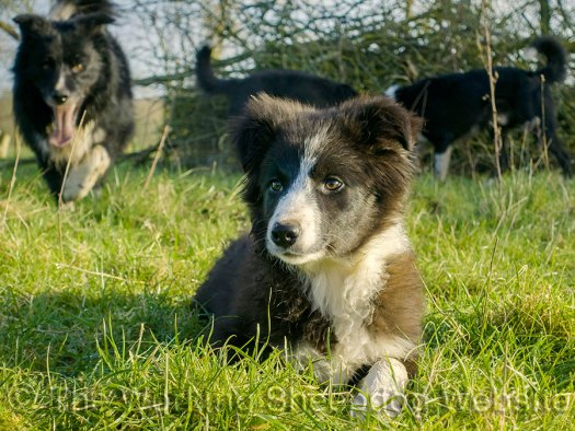 Female border collie sheepdog puppy for sale