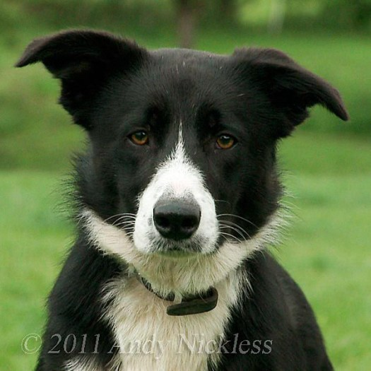 Smooth coated border collie sheepdog