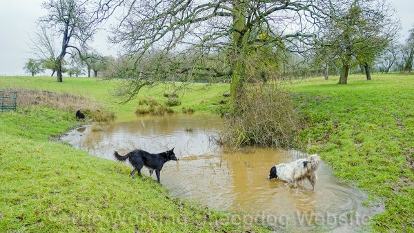 Border collies playing in a flooded field