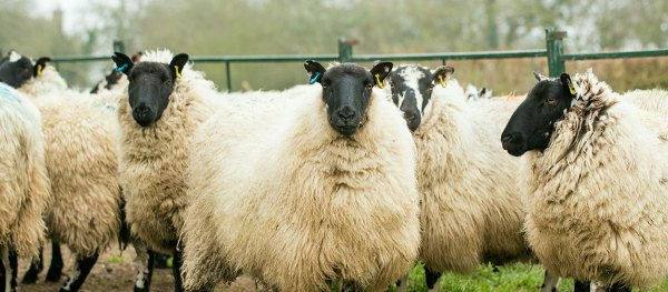 Closeup of a group of speckle-faced sheep
