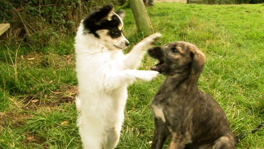 Chihuahua cross puppy playing with a deerhound pup