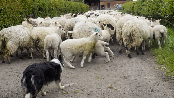 Kay working close to the sheep as she brings them down the drive