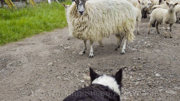 A ewe confronts Kay on the drive