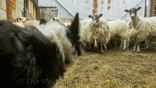 A sheep stamps its foot as a warning to Kay - and she keeps her distance from it