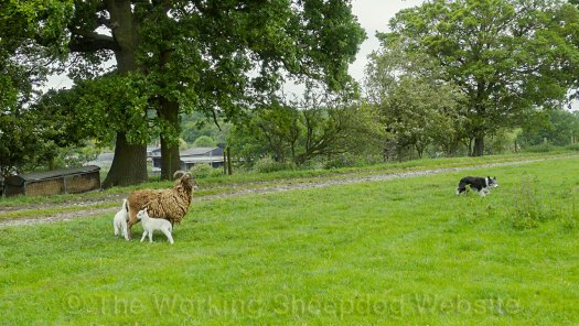 Herding sheepdog Kay turning away from the Jacob ewe and its lambs