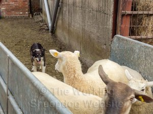A confident herding sheepdog pushing sheep along a handling race.