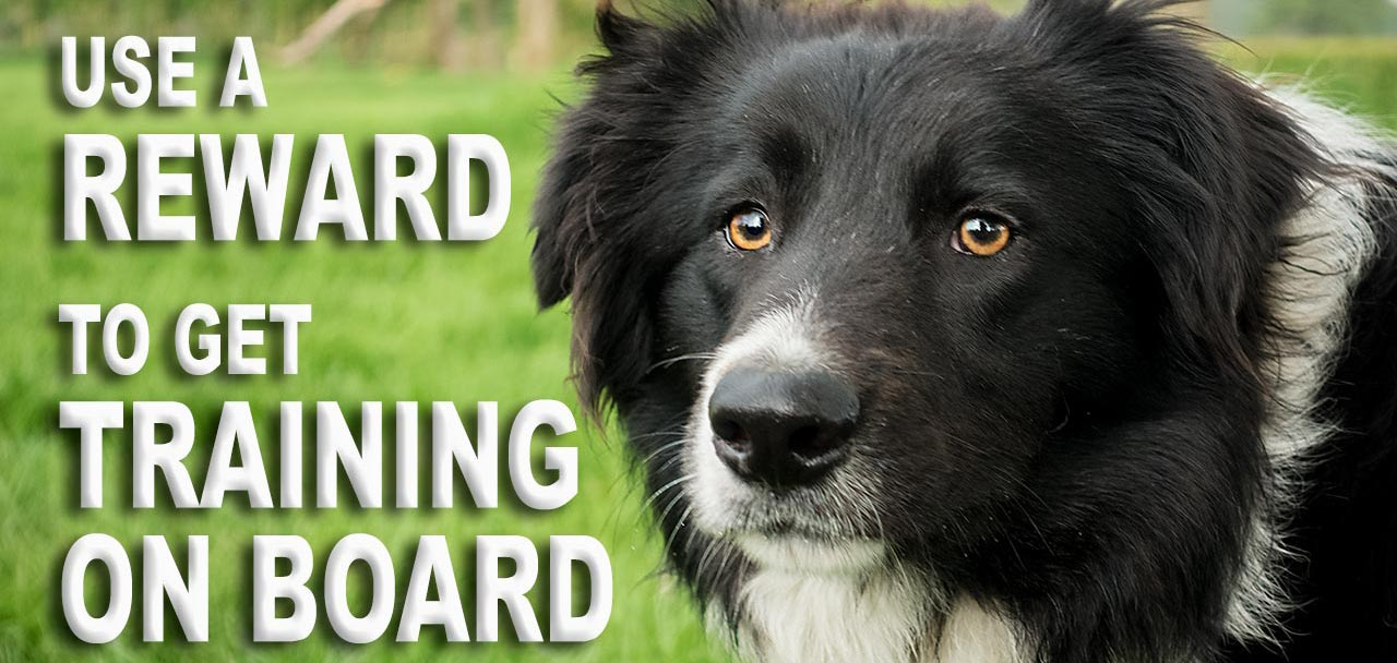 Herding Sheep and Cattle dog Odo was afraid of cars until he was trained with a reward