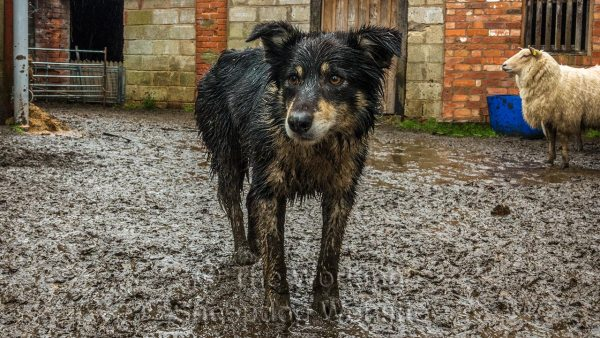 Close up of a very wet and muddy sheepdog, Bronwen