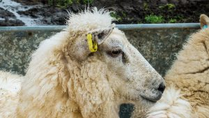 Close up of a ewe in the sorting race, sporting an attractive hairstyle